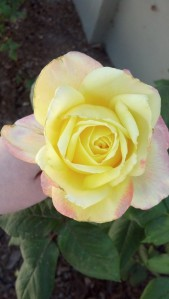 """Pic of one of the roses in front of my house this spring."""